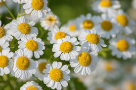 stock photo of feverfew  - Some feverfew are soaking up the sunlight - JPG