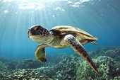 stock photo of excite  - A Hawaiian gree sea turtle floats over the reef offshore from Kona - JPG
