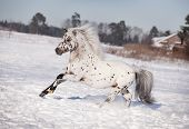 foto of appaloosa  - appaloosa pony runs free through the winter field - JPG