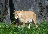 Постер, плакат: Lioness In Sun