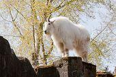 Mountain Goat On Rock
