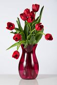 Drooping Red Tulips on White