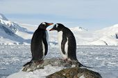 Male And Female Gentoo Penguins On The Slope.
