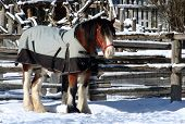 pic of clydesdale  - a clydesdale horse wearing a blanket - JPG