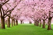 pic of tranquil  - Ornamental garden with majestically blossoming large cherry trees on a fresh green lawn - JPG