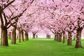pic of canopy  - Ornamental garden with majestically blossoming large cherry trees on a fresh green lawn - JPG