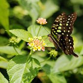 Beautiful Giant Swallowtail Or Lime Swallowtail Butterfly On A Lantana Flower