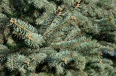 Fir- Tree Needles