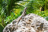 Lizard rests on a stone