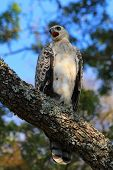 Crowned Eagle (juvenile)