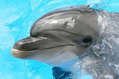 stock photo of grampus  - Dolphin swimming in blue swimming pool water - JPG