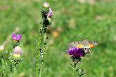 Sphingidae. Hummingbird moth. Calibri moth. Bee Hawk-moth landing.