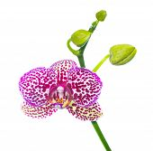 Blooming lilac spotty orchid