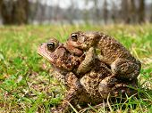 American Toad 04