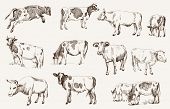 Various types of cattle and cows