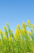 stock photo of goldenrod  - This is a photo of a blue sky and goldenrod - JPG