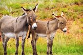 stock photo of burro  - A mother and baby burro at Custer State Park South Dakota - JPG