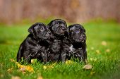 three cane corso puppies