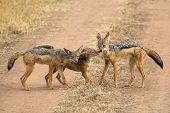 stock photo of jackal  - A family of black - JPG