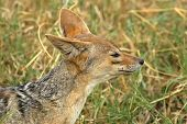 picture of jackal  - Side portrait of a black - JPG