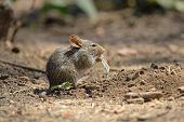 Field Mouse Eating A Leaf