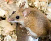 stock photo of field mouse  - A close up of a field mouse - JPG