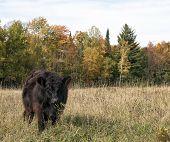 Organic steer