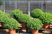 Big hardy mum plants for sale at the nursery