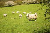 Nosey Sheep