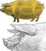 Pig or swine in engraved style