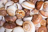 Snail Sea Shells