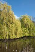Weeping Willow,Lower Rhine region,Germany