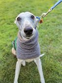 foto of greyhounds  - a cute dog at a local park - JPG