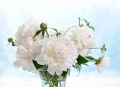 floral composition of white peonies on blue background