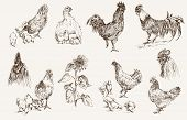 chicken breeding