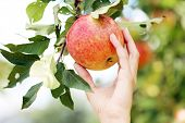 image of horticulture  - Hand that is touching an apple that is hanging on a tree - JPG