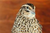 Young quail on wooden background