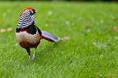 Golden Pheasant Or Chinese Pheasant