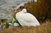 Falkland Island Kelp Goose White Male