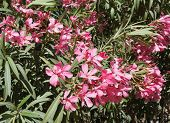 pic of oleander  - Beautiful blossom of pink nerium oleander - JPG