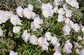 Oenothera speciosa blossom