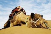 Dromedary Camel in The Thar Desert, Rajasthan, India