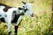 Goat Eating Grass.