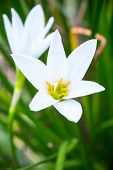 Rain Lily White (zephyranthes Candida)