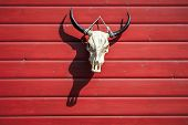 Bull Skull Hanging On The Red Barn With Shadow