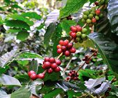 Coffee tree with red ripening bean at coffee plantation