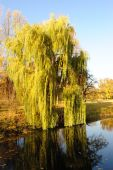 Willow Tree In A Park In Warm Colors Of Sunset