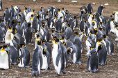 stock photo of falklands  - King Penguin  - JPG