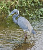 Tricolored Heron Feeding In Florida Wetland