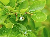 Unripe Blueberries With Dew